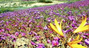 desierto_florido_flores