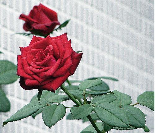 rosas no jardim de deus : rosas no jardim de deus:Flor mais Linda do Jardim de Deus