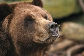 urso picado por abelhas